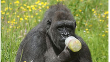 Chimp Kwanza chills out in the heat with a frozen fruit drink
