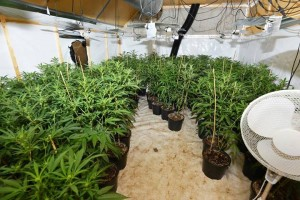 Police arrest three men and two women after seizing £410,000 worth of cannabis plants across Belfast