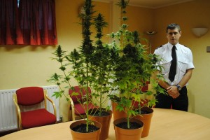 Police put on display cannabis plants seized in Castlederg