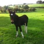 Lugs the donkey which has been rescued from Ligoniel mountains