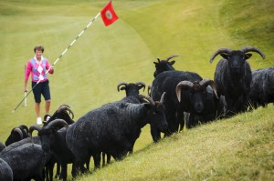 The 18 hole Machrihanish Dunes links course on the Mull of Kintyre has employed a flock of Hebridean sheep to play a key role in maintaining the grass on the course.