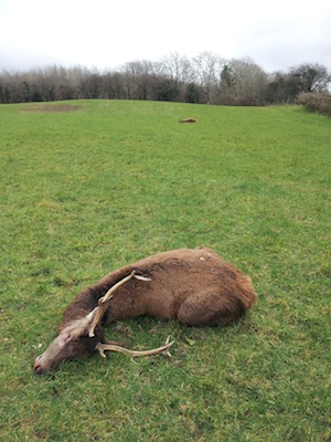 Another stag in the same field riddled by a poacher's gun