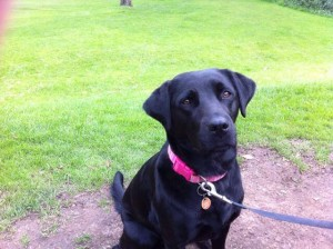 Missing Tilly the labrador dog