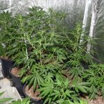 The cannabis factory uncovered by police in Muckamore, Co Antrim