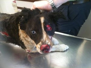 Cody the Colly dog who lost her fight for life two weeks after a thug set her on fire