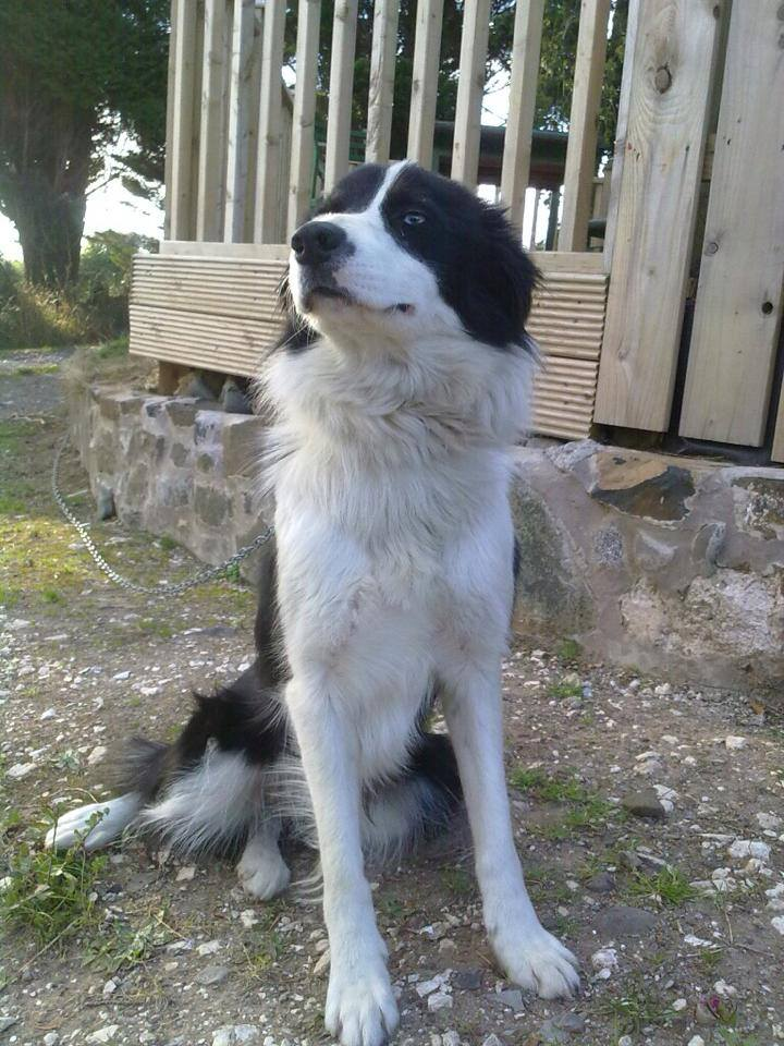 Beautiful Cody the Border Collie dog before the attack