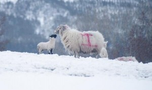 A mother and her lamb survive the recent heavy snow blizzard in the Sperrin Mountains