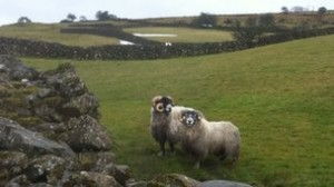 The Blackface rams which survived three weeks under 6ft of snow in north Antrim