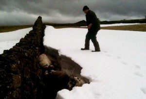 The Blackface rams took shelter by a stone wall covered over with a blizzard of snow