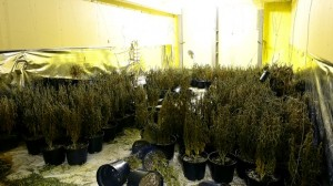 Almost £500,000 worth of cannabis plants seized during raid in Co Antrim