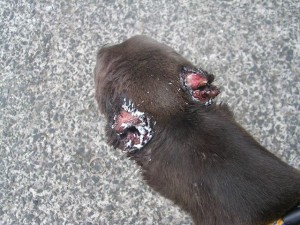 The horrific injuries thugs cause to the ears of Norman the greyhound