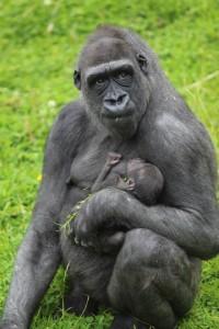 Doting mum Kwanza and her three-week baby 'King Kong' born at Belfast zoo
