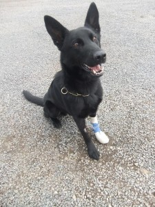 Dark the PSNI public order dog with his paw bandaged after getting seven stitches