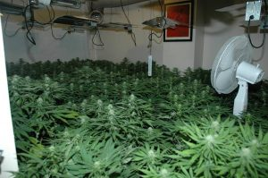 The inside of the cannabis factory smashed last week in Lisburn with £220k of plants uncovered