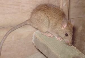 rat-300x203