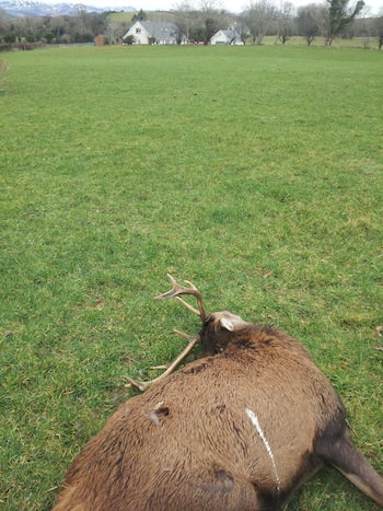 A helpless stag lies dead in a field after being shot by poachers