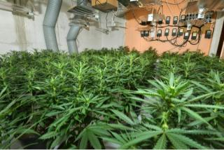 £700,000 worth of cannabis plants seized by police