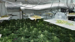 The £158,000 cannabis factory seized this week in north Belfast