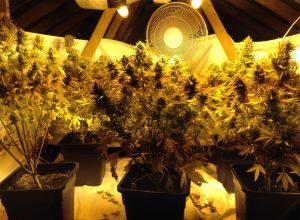 Bangor cannabis raid 2