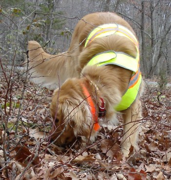 A 'cadaver' dog searching for human remains
