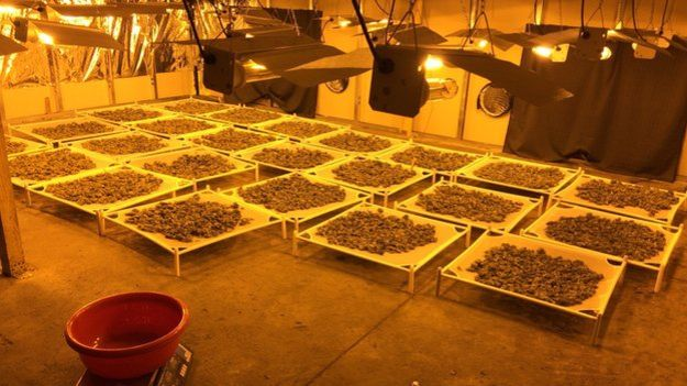 Hundreds of thousands of pounds worth of 'skunk ' cannabis seized by the PSNI