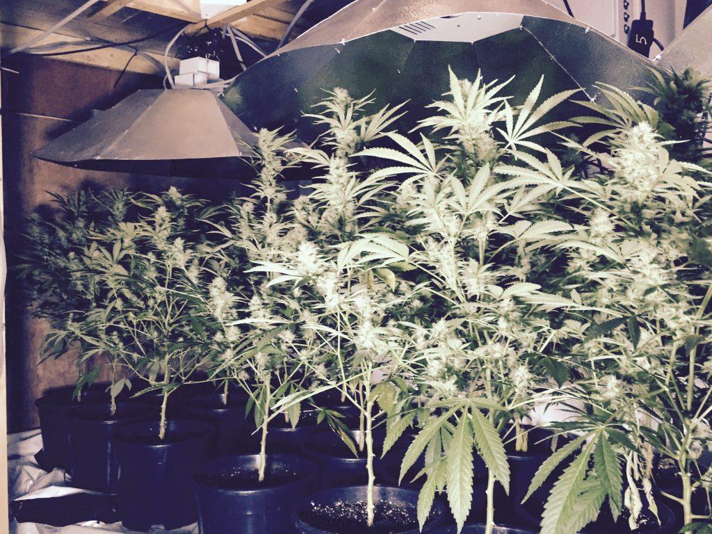 Annalong Cannabis 2