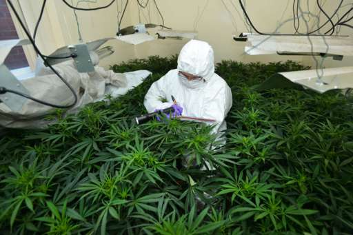 south belfast cannabis factory