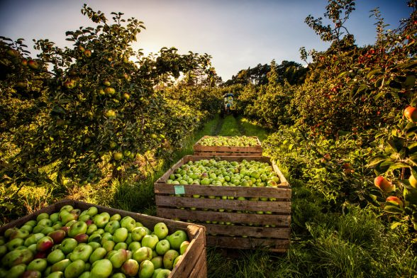 Armagh famous Bramley Apples